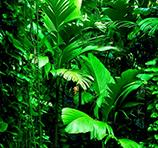 Rattan: noch ist es grün